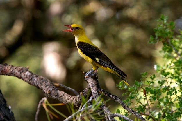 Oriole dourado jovem, canto dos pássaros, oriolus oriolus