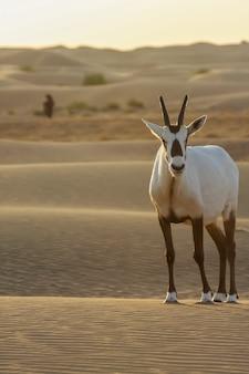 Órix árabe