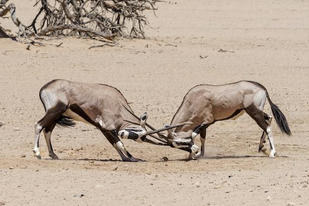 Órix lutando no deserto de kalahari, namíbia