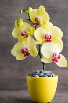 Orquídea amarela no fundo cinza.