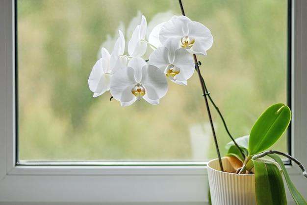 Orquídea branca em flor no peitoril da janela