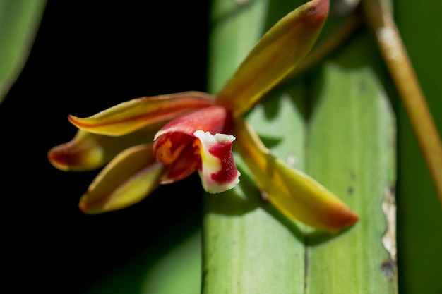 Orquídea cymbidium na bela natureza.