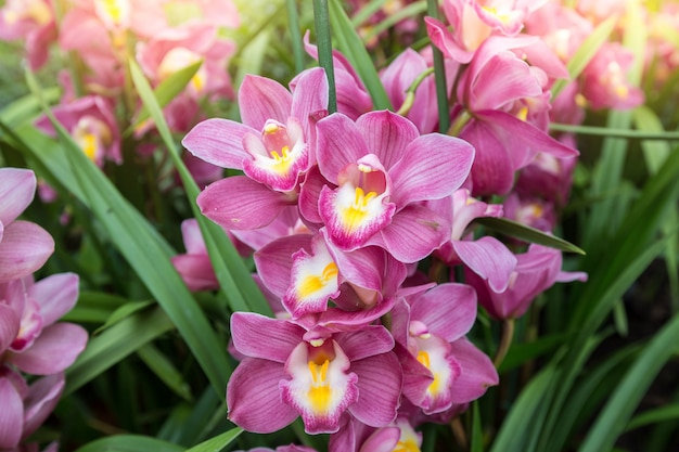 Orquídea cymbidium ou orquídea barco tem pontas de flores altamente decorativas.