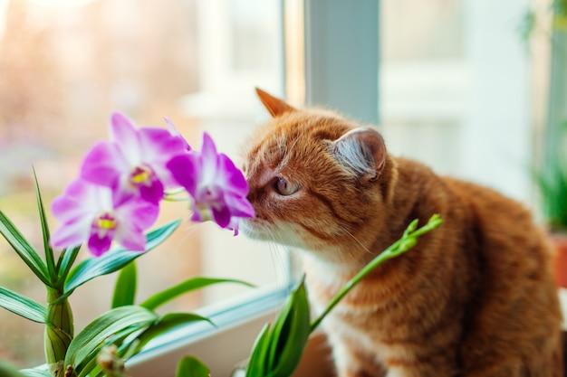Orquídea de cheiro do dendrobium do gato do gengibre que anda no peitoril da janela em casa. animal de estimação curioso