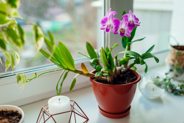 Orquídea dendrobium. casa plats crescendo no peitoril da janela. decoração interior com flores