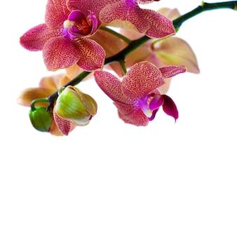 Orquídea isolada em fundo branco
