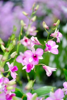 Orquídea linda no jardim na tailândia