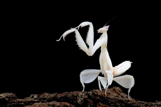 Orquídea louva-a-deus vista lateral em fundo preto