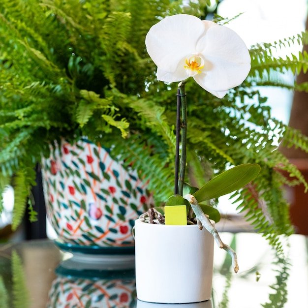 Orquídea phalaenopsis big singolo no vaso branco com samambaia espada