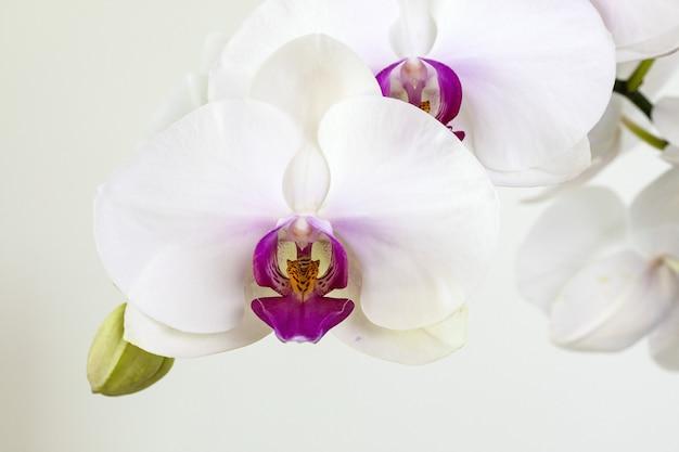 Orquídea phalaenopsis branca em fundo branco, close-up