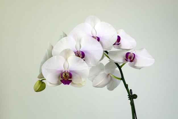 Orquídea phalaenopsis branca em fundo branco