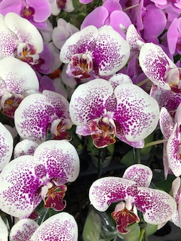 Orquídea phalaenopsis no jardim