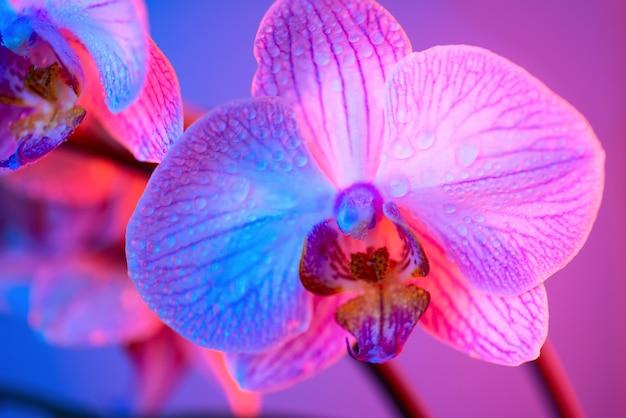 Orquídea rosa delicada com gotas de orvalho close-up sobre fundo azul claro