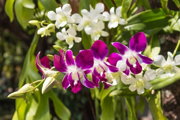 Orquídea roxa de florescência
