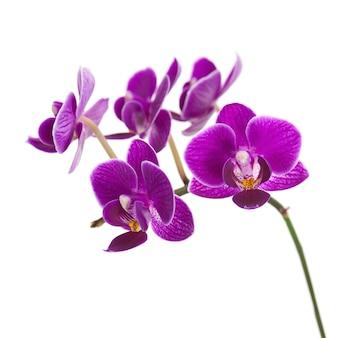Orquídea roxa muito rara isolada no fundo branco.