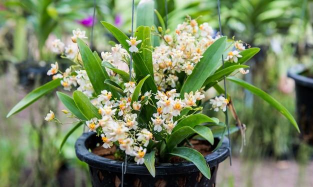 Orquídea selvagem tropical
