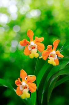 Orquídea vanda denisoniana (orchidaceae) na natureza no jardim.