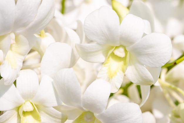 Orquídeas brancas, dendrobium.