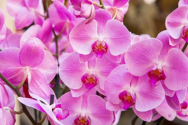 Orquídeas cor de rosa. celebração do dia internacional da mulher