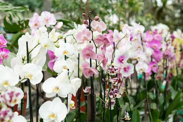 Orquídeas phalaenopsis em flor em vasos no balcão da loja