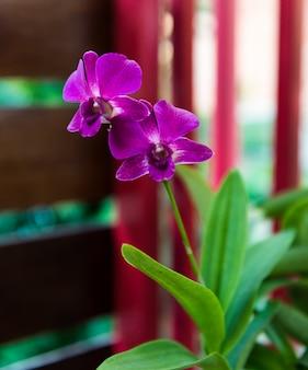 Orquídeas rosa profundo