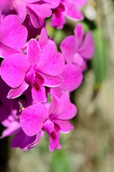 Orquídeas roxas de denerobium no jardim tropical.