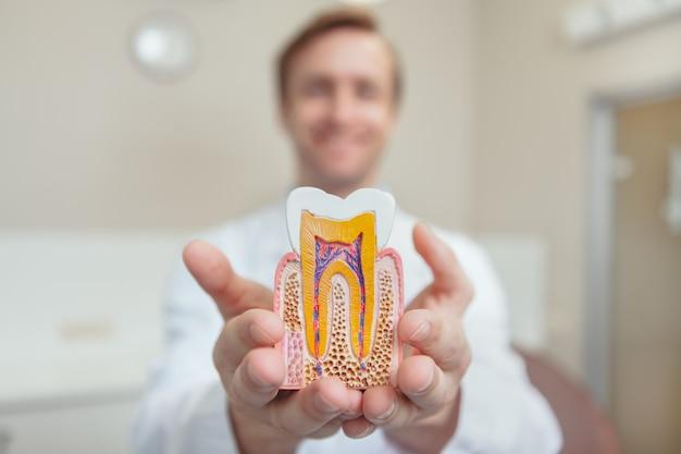 Ortodontista profissional, sorrindo, segurando o modelo de um dente saudável