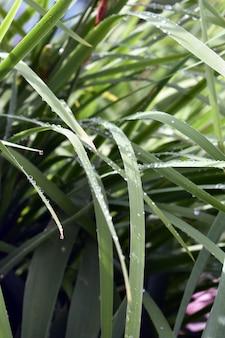 Orvalho cai na grama verde
