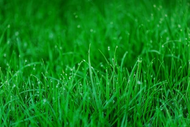 Orvalho do amanhecer na grama verde fresca. fundo natural.