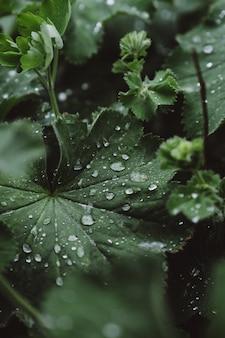 Orvalho em grandes folhas verdes