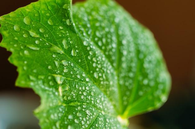 Orvalho em uma folha de pepino