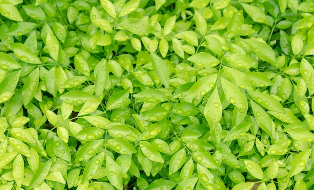 Orvalho na folha verde