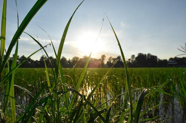 Orvalho na grama com sol da manhã, fundo abstrato da natureza