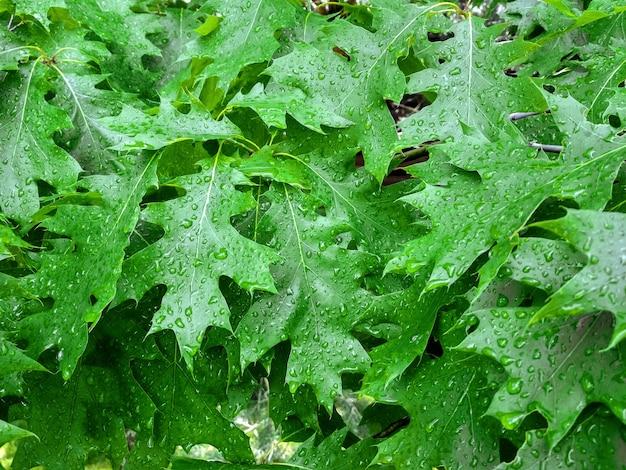 Orvalho nas folhas novas de carvalho. folha verde de carvalho quercus rubra coberta por gotas de água de orvalho.