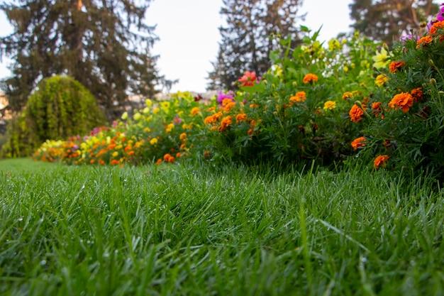 Orvalho no gramado do jardim, grama verde e flores desabrochando