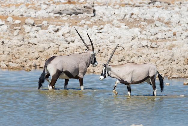 Oryx bebendo do poço de água de okaukuejo na luz do dia. safari da vida selvagem no parque nacional de etosha, o principal destino de viagem na namíbia, áfrica.