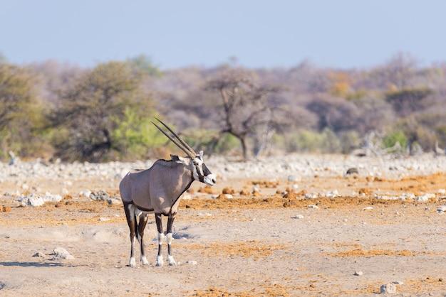 Oryx em pé na paisagem colorida do majestoso parque nacional etosha