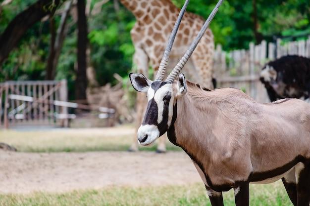 Oryx / gemsbok em pé no campo verde