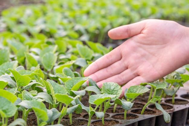 Os agricultores cuidam do plantio orgânico hidropônico de vegetais.