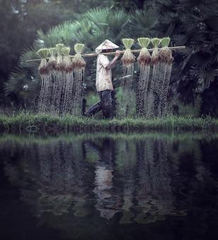 Os agricultores cultivam arroz na estação chuvosa.