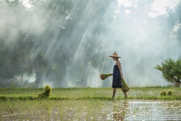Os agricultores cultivam arroz na estação das chuvas.
