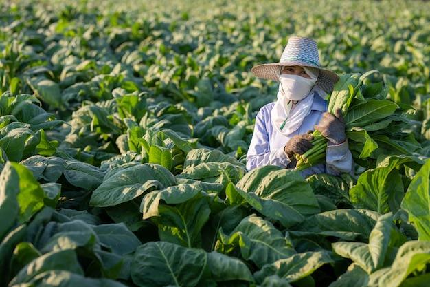 Os agricultores cultivavam tabaco em um tabaco convertido que crescia no país, na tailândia.