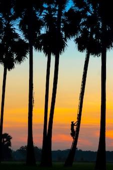 Os agricultores de siluet tendem a subir nas palmeiras para coletar açúcar pela manhã.