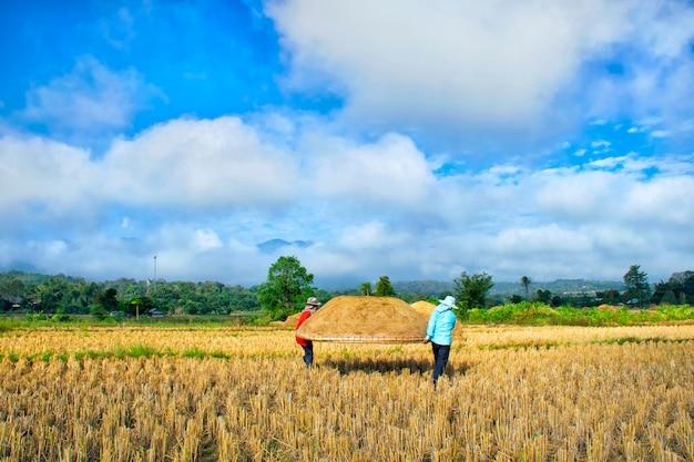 Os agricultores estão ajudando a levantar o recipiente para bater o arroz