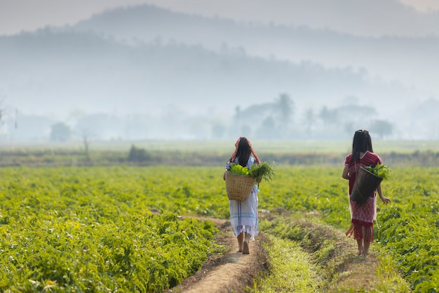Os agricultores estão caminhando vegetais orgânicos nas áreas rurais.
