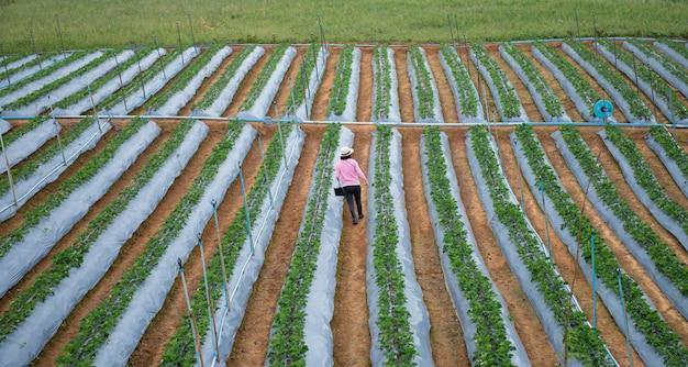 Os agricultores estão coletando morangos no planalto e frio
