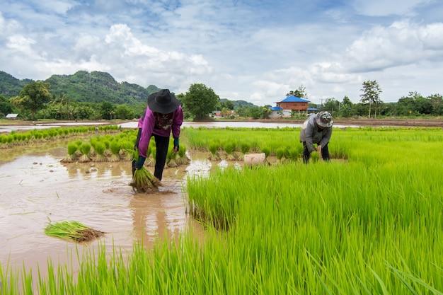 Os agricultores estão colhendo arroz durante a colheita madura.