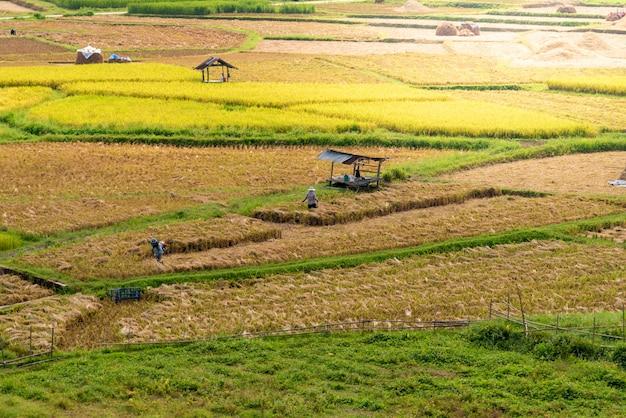 Os agricultores estão colhendo arroz no campo.