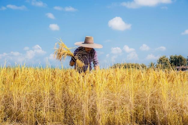Os agricultores estão colhendo arroz nos campos.