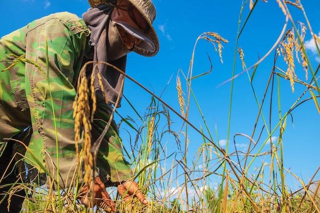 Os agricultores estão colhendo arroz.